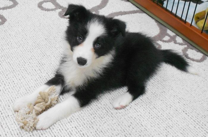 ボーダーコリーの子犬です。2012年3月6日生まれ。生後約2ヶ月の可愛い女の子。ホワイトハットジャパンの看板犬です。現在、トイレを学習中。ロープのおもちゃがお気に入りです。